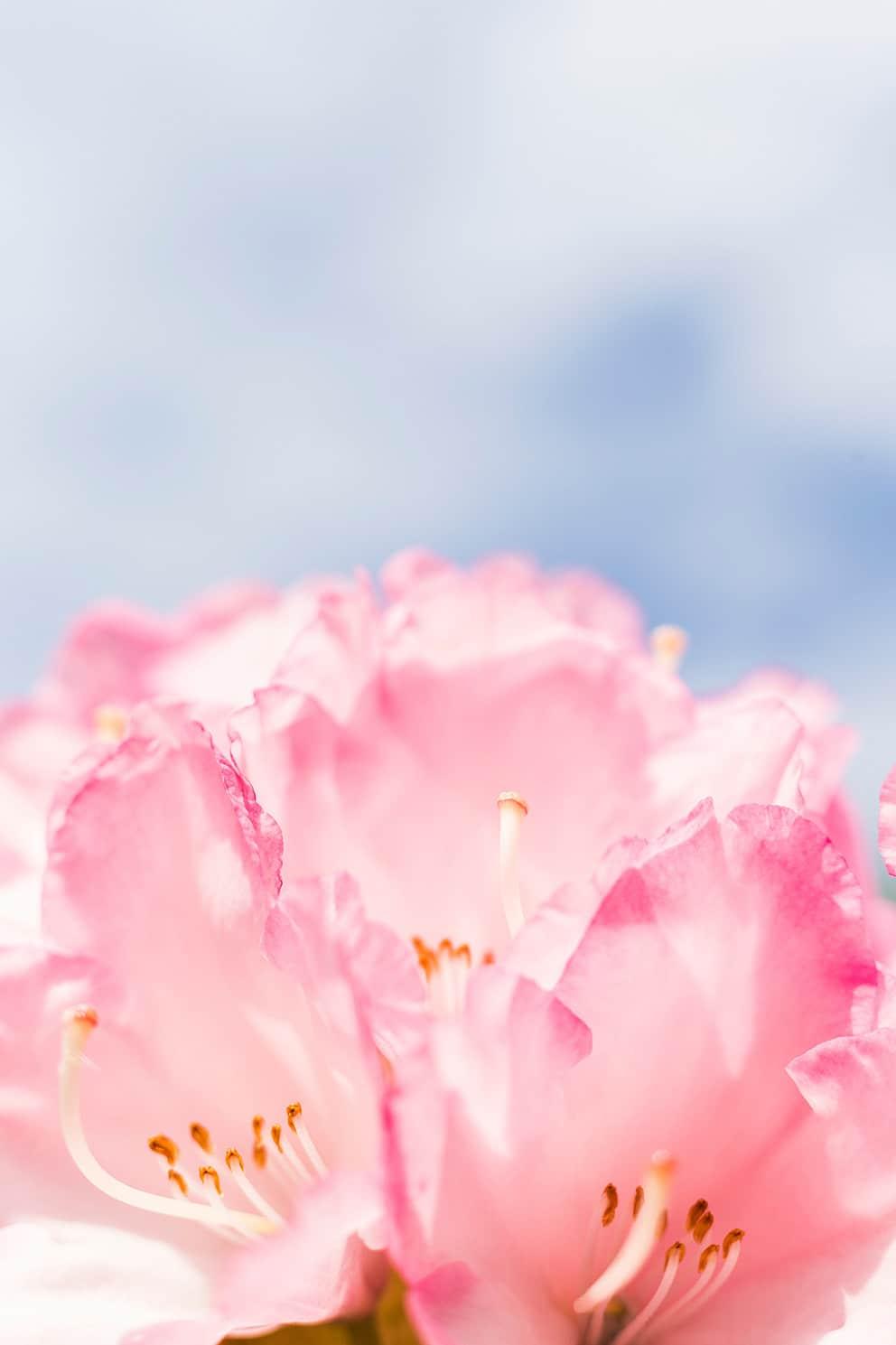 Fleur rose NAturopathie et massage bien-etre
